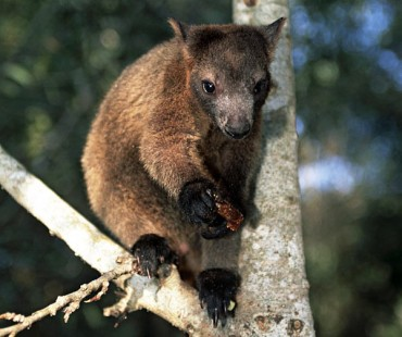 Tree Kangaroo 1.jpg