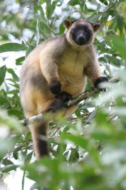 Tree Kangaroo 2.jpg
